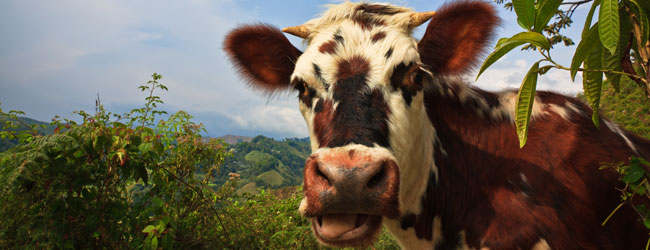 A Cow Greets Us