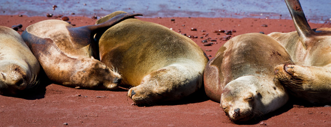 Sleeping Female Sea Lions