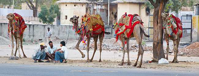 Colorful Camels